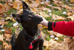 Woman's hand stroking black crossbreed dog. Stock Photos