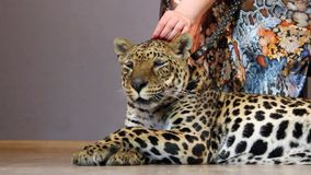 Woman's hand stroking a leopard stock footage