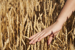 Woman's hand stroking the stems of wheat Royalty Free Stock Images