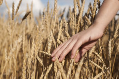 Woman's hand stroking the stems of wheat Stock Image