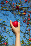 Woman's hand is taking down red apple from tree. In a garden Royalty Free Stock Image