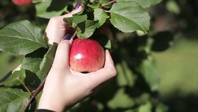 A woman`s hand tears off a red apple from an apple tree. Slow motion 120 fps stock video