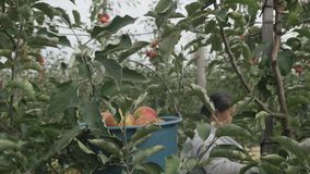 A woman`s hand tears off a red apple from an apple tree.  stock video