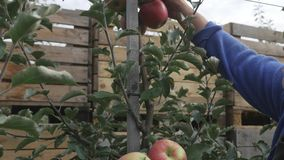 A woman`s hand tears off a red apple from an apple tree.  stock video footage