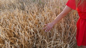 Woman's hand touch wheat ears at sunset stock footage