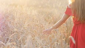 Woman's hand touch wheat ears at sunset stock video