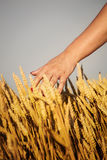 Woman's hand touch wheat Royalty Free Stock Photography
