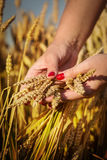 Woman's hand touch wheat Stock Photo