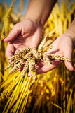 Woman's hand touch wheat Royalty Free Stock Photo