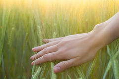 Woman's hand touching green wheat ears Stock Photography