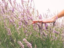 Woman's hand touching lavender, feeling nature royalty free stock photo