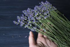 Woman`s hand touching lavender flowers. stock photography
