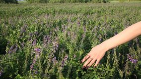 Woman`s hand touching purple flowers in beautiful field at golden sunset stock video