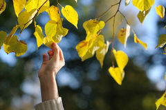 Woman's hand touching yellow leaves Stock Photo