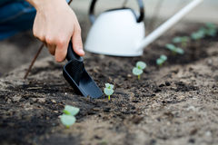 Woman's hand transplanting a small plant with shovel. Stock Image