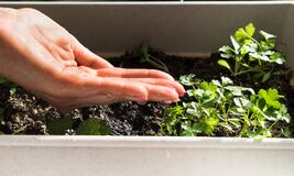 Free Woman`s Hand Watering Young Plant Of Parsley For Growing Stock Photo - 210227470