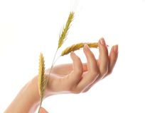 Woman's hand with wheat Stock Images
