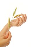 Woman's hand with wheat. Isolated on white background Royalty Free Stock Images