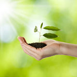 Woman's hand with young plant. In soil over nature background Royalty Free Stock Photo