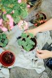 Woman& x27; s handen overplanten succulent in nieuwe pot Tuinierende ou Stock Afbeelding