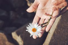 Woman`s hands with a chamomile isolated on  white background Stock Photography
