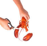 Woman's hands cutting the steam Canadian lobster Royalty Free Stock Photography