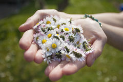 Woman's hands with Daisies. In the garden Stock Image