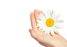 Woman's hands with a daisy Royalty Free Stock Image