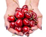 Woman's hands full of fresh cherries Royalty Free Stock Photo