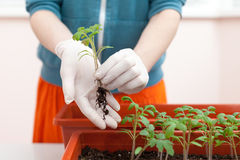 Woman`s hands in gloves keeps the seedlings of tomato and pepper in hand. Transplanting seedlings in a pot. Royalty Free Stock Photos