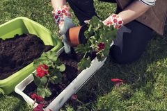 Woman`s hands in gloves planting red pelargonium. Spring time activity. Hobby and leisure. Selective focus. Sunny day stock photo