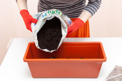 Woman`s hands in gloves pours the earth into a plastic container. Preparation of seeds tomato and pepper for planting in the groun Royalty Free Stock Photos