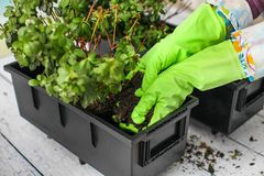 Woman`s hands in green rubber gloves transplanting plant into new pot. Home gardening relocating house plant royalty free stock images