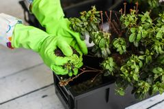 Woman`s hands in green rubber gloves transplanting plant into new pot. Home gardening relocating house plant royalty free stock photography