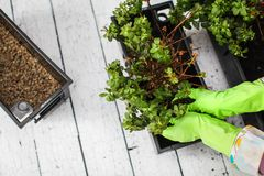 Woman`s hands in green rubber gloves transplanting plant into new pot. Home gardening relocating house plant royalty free stock photo