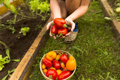 Woman`s hands harvesting fresh organic tomatoes. In her garden on a sunny day. Farmer picking tomatoes. Vegetable rowing. Gardening concept Royalty Free Stock Images