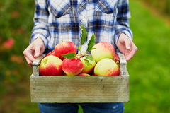 Woman's hands holding crate with red apples Stock Images