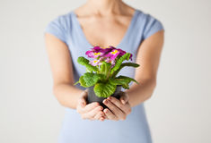 Woman's hands holding flower in pot Royalty Free Stock Images