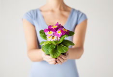Woman's hands holding flower in pot Royalty Free Stock Image