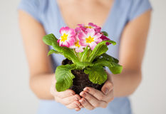 Woman's hands holding flower in soil Royalty Free Stock Photography