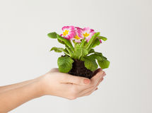 Woman's hands holding flower in soil Royalty Free Stock Photos