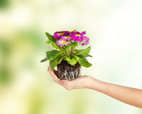 Woman's hands holding flower in soil Royalty Free Stock Photo