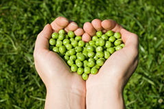 Woman's hands holding green peas Stock Images