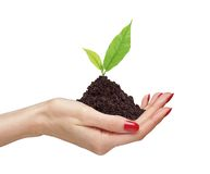 Woman's hands are holding green plant Stock Image