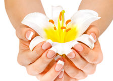 Woman's hands holding lily flower Stock Image