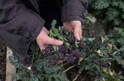 Woman`s hands holding purple sprouting broccoli in garden Royalty Free Stock Photography
