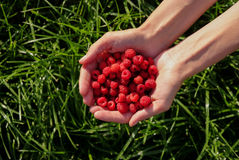Woman's hands holding red raspberries on green grass background at sunset Stock Images