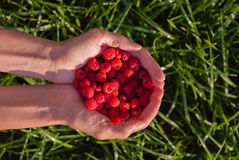Woman's hands holding red raspberries on green grass background at sunset Stock Photography