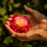 Woman`s hands holding a rose in the park of the Forbidden City or Gugong, Beijing, China Stock Image