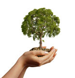 Woman's hands holding soil with a tree. Viewed from a side, on white background Royalty Free Stock Images